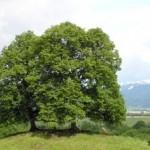 Липа в славянской языческой мифологии